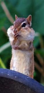 A thoughtful chipmunk