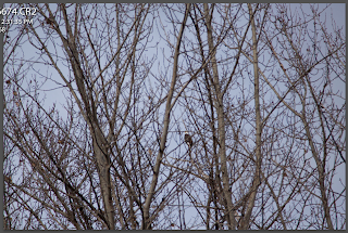 Bald eagle is seen in a tree bare of leaves, a very challenging scene for your camera's autofocus to deal with, by Chris Gardiner Photography in Kelowna, BC, Canada www.cgardiner.ca