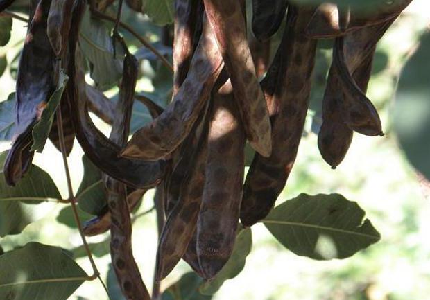 Порошок кэроб (плоды рожкового дерева)