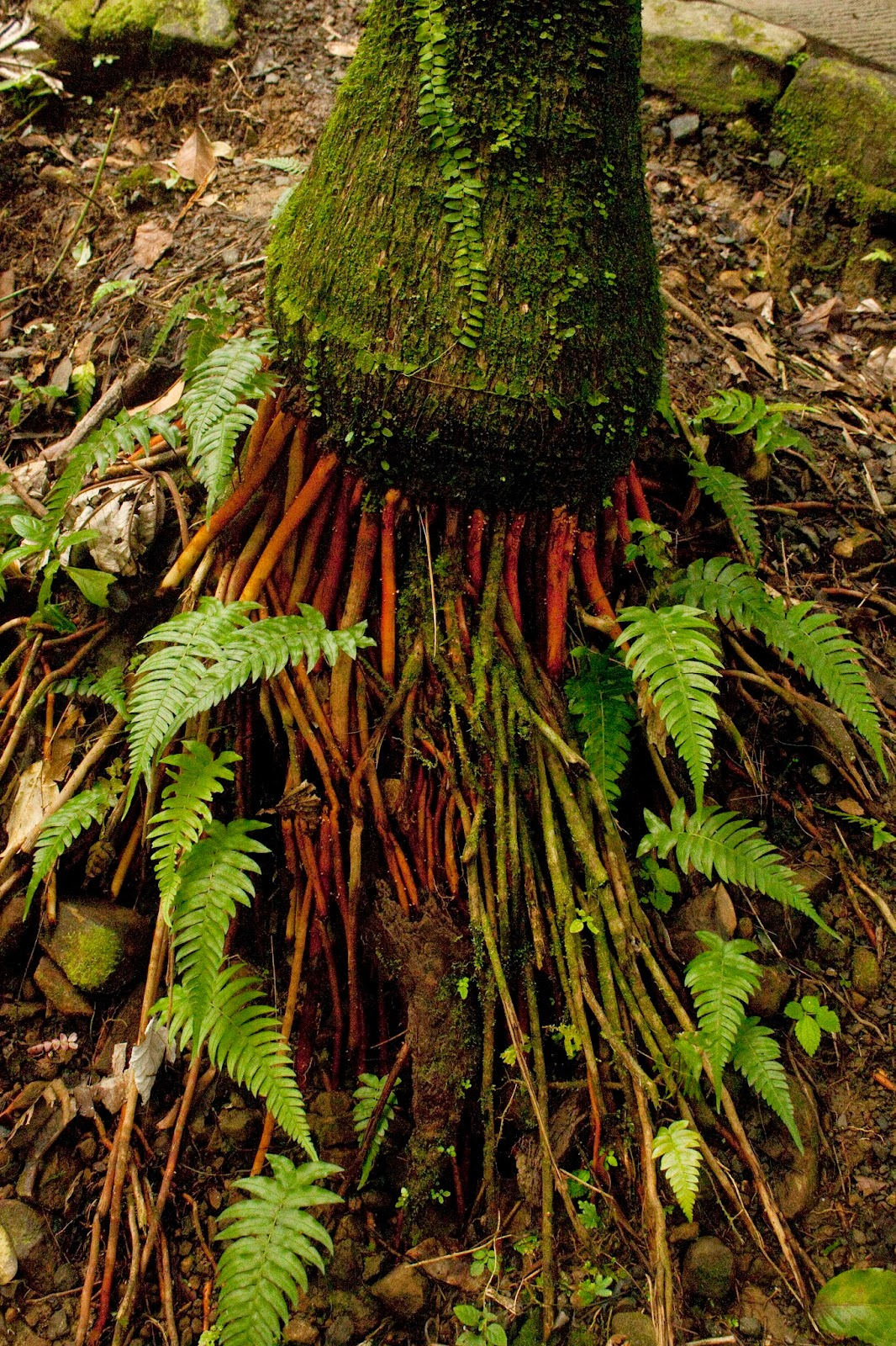jungle root