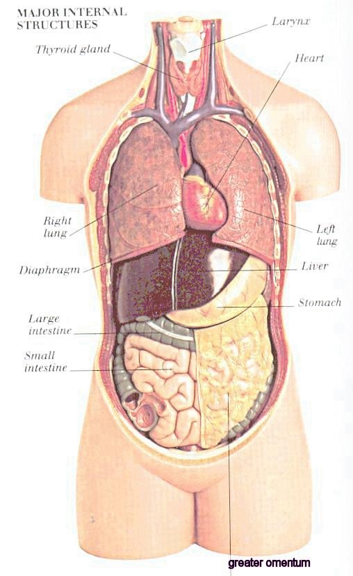 Topography Of Lungs Anterior View Unlabeled General Anatomy Frank H  ter 1068 additionally 6181297 in addition Diagnostic Radiology Iii Definitions additionally Cadaver With Pictures Flash Cards together with External Female Reproductive System Pictures External Female Reproductive System Diagram Human Anatomy Labelled 2. on body cavities and organs