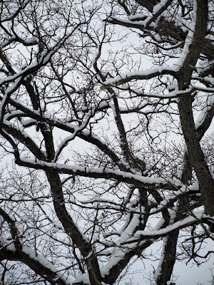 Oak branches covered with snow