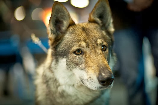 Silver czechoslovakian wolfdog - photo#16