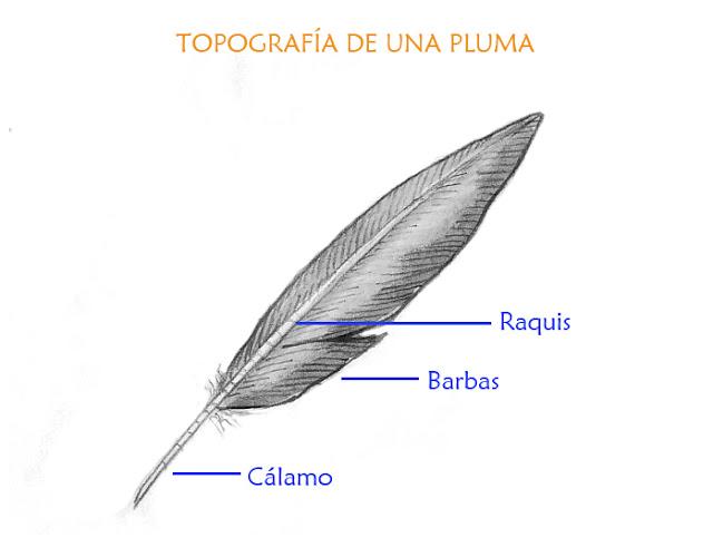 Lujo Anatomía De Una Pluma De Ave Bandera - Anatomía de Las ...