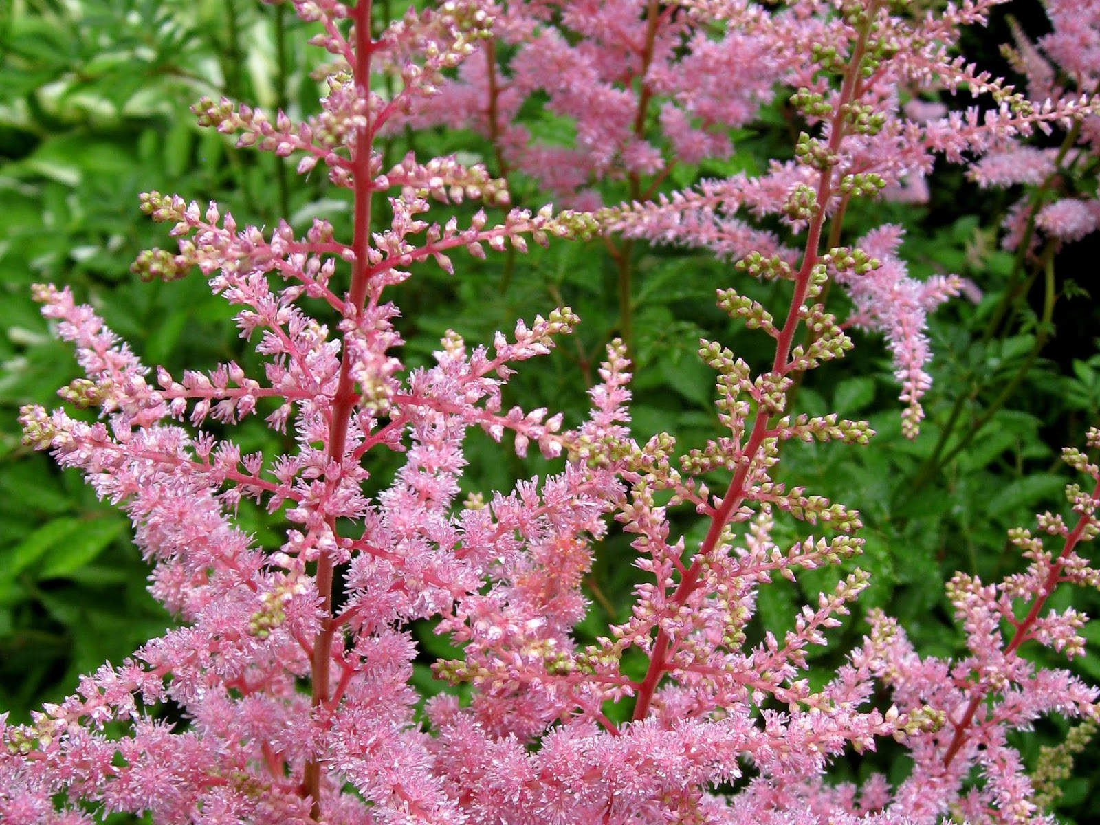 Image Astilbe.jpg free for use with attribution