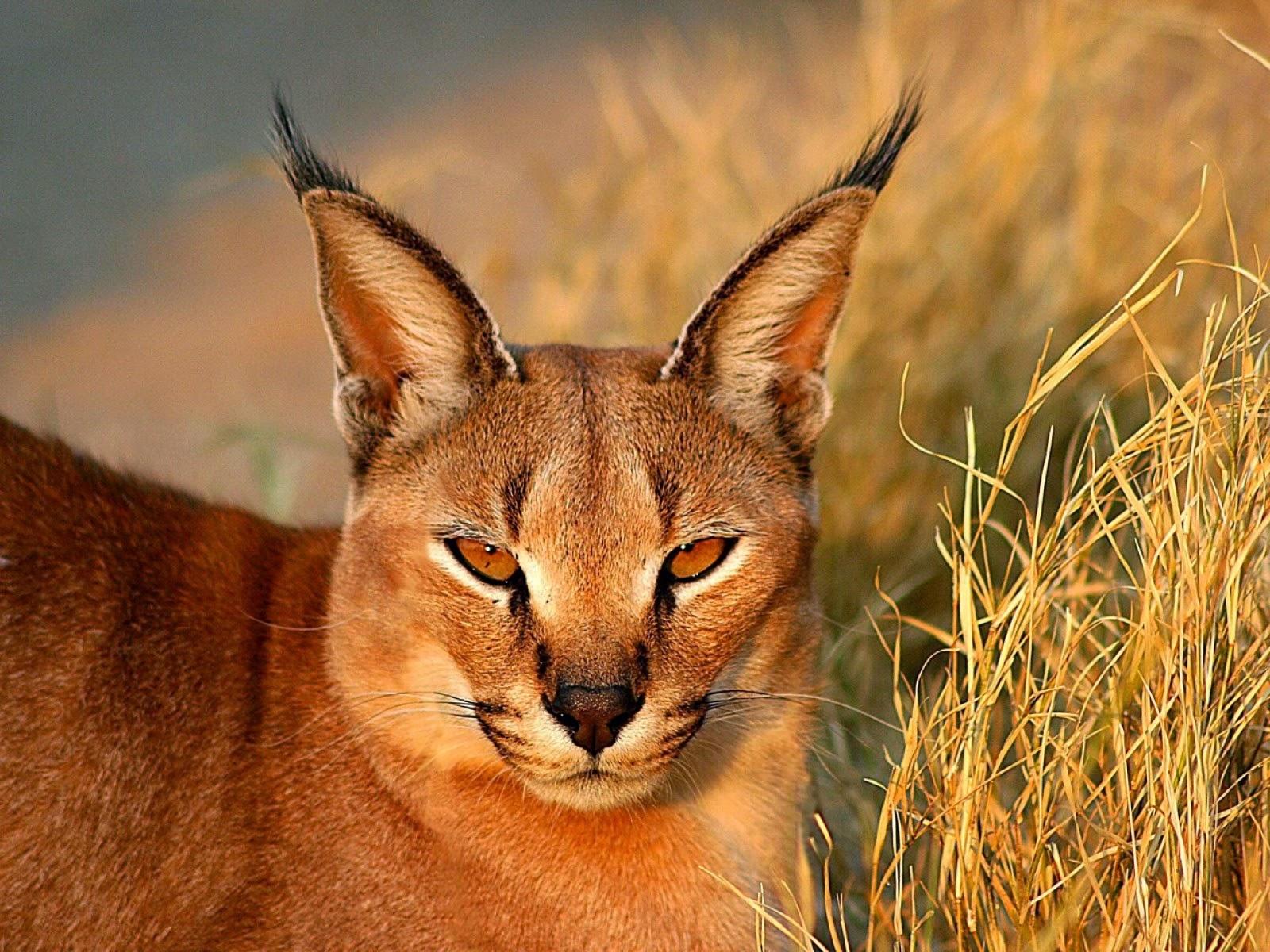 Long Eared African Cat