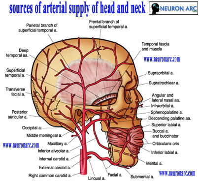 Blood Supply (Arteries and Veins) of Head and Neck