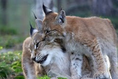 Stop Hunting of Lynx in Sweden