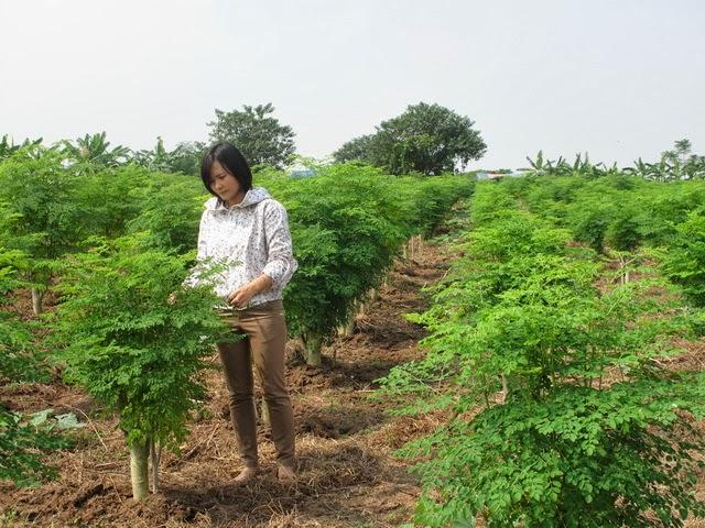 Kỹ thuật trồng cây chùm ngây năng xuất cao