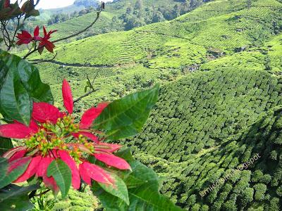 ladang teh boh sungai palas