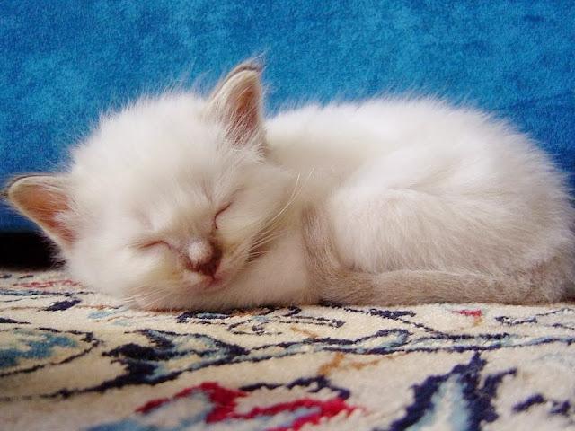 белый котёнок спит