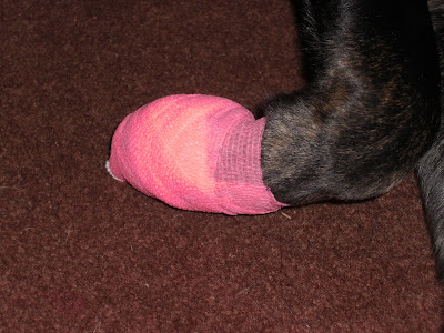 Up Close picture of Rudy's paw - with the neon pink bandage on