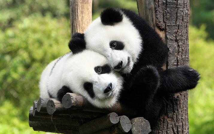 panda di zoo negara
