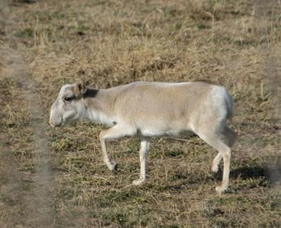 Female Saiga tatarica