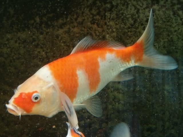 animais de cria o ornamentais carpa japonesa nishikigoi