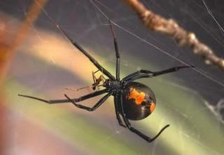 migrating to Australia - here is a redback Spider