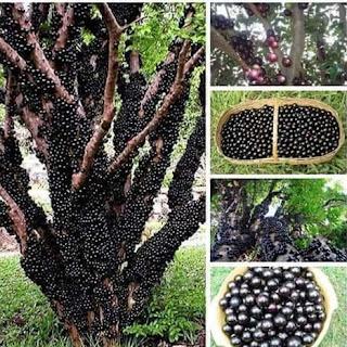 ağacın meyvesi gövdede