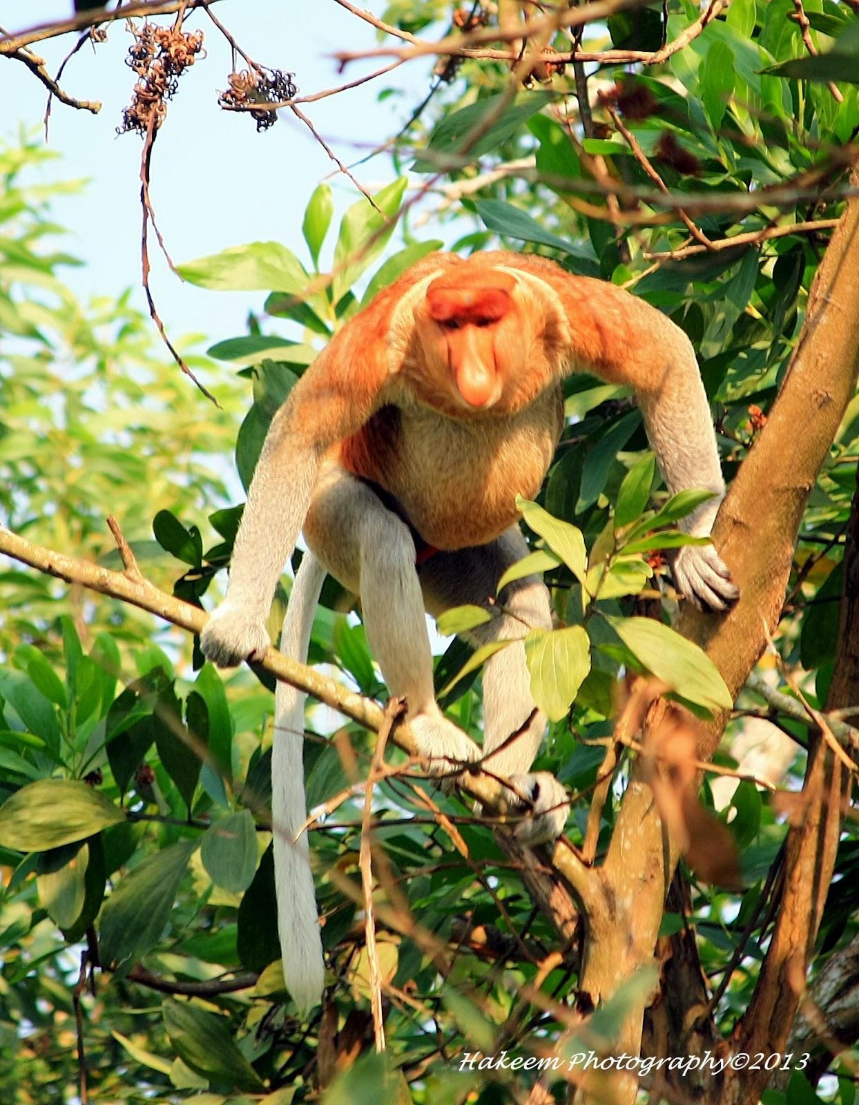Bekantan, Proboscis Monkey