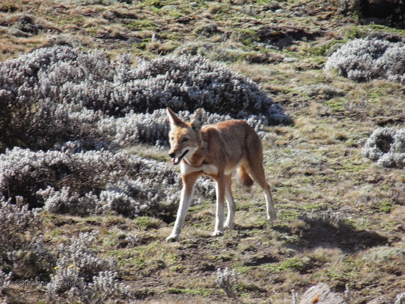 Ethiopian wolf (Canis simensis) on the Sanetti Plateau in the Bale Mountains