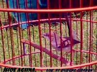 Burung Ciblek Buat Master