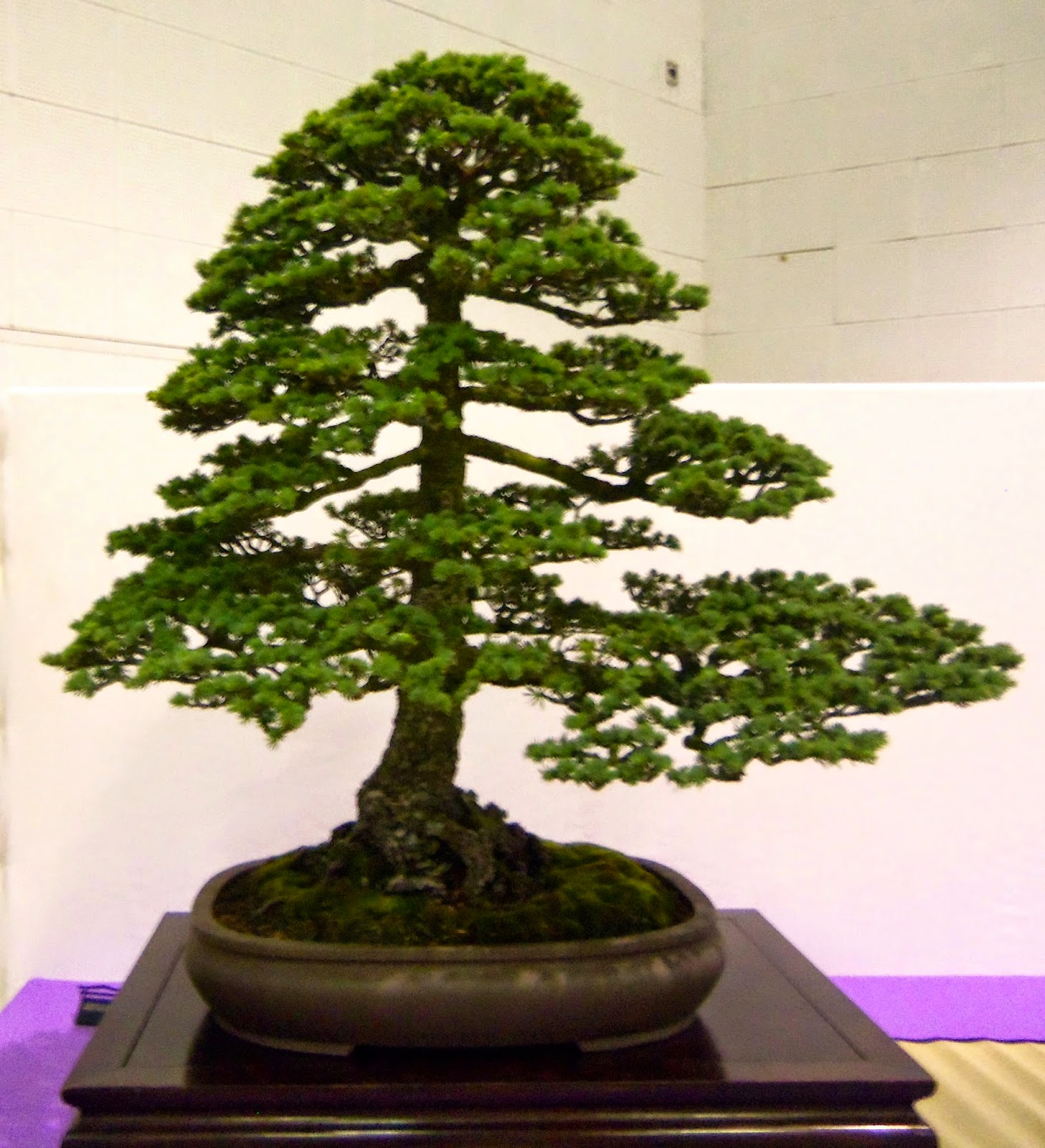 Santa Maria Bonsai Club