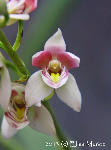 Orquidea Koellensteinia ionoptera 2013 (c) Elma Muñoz