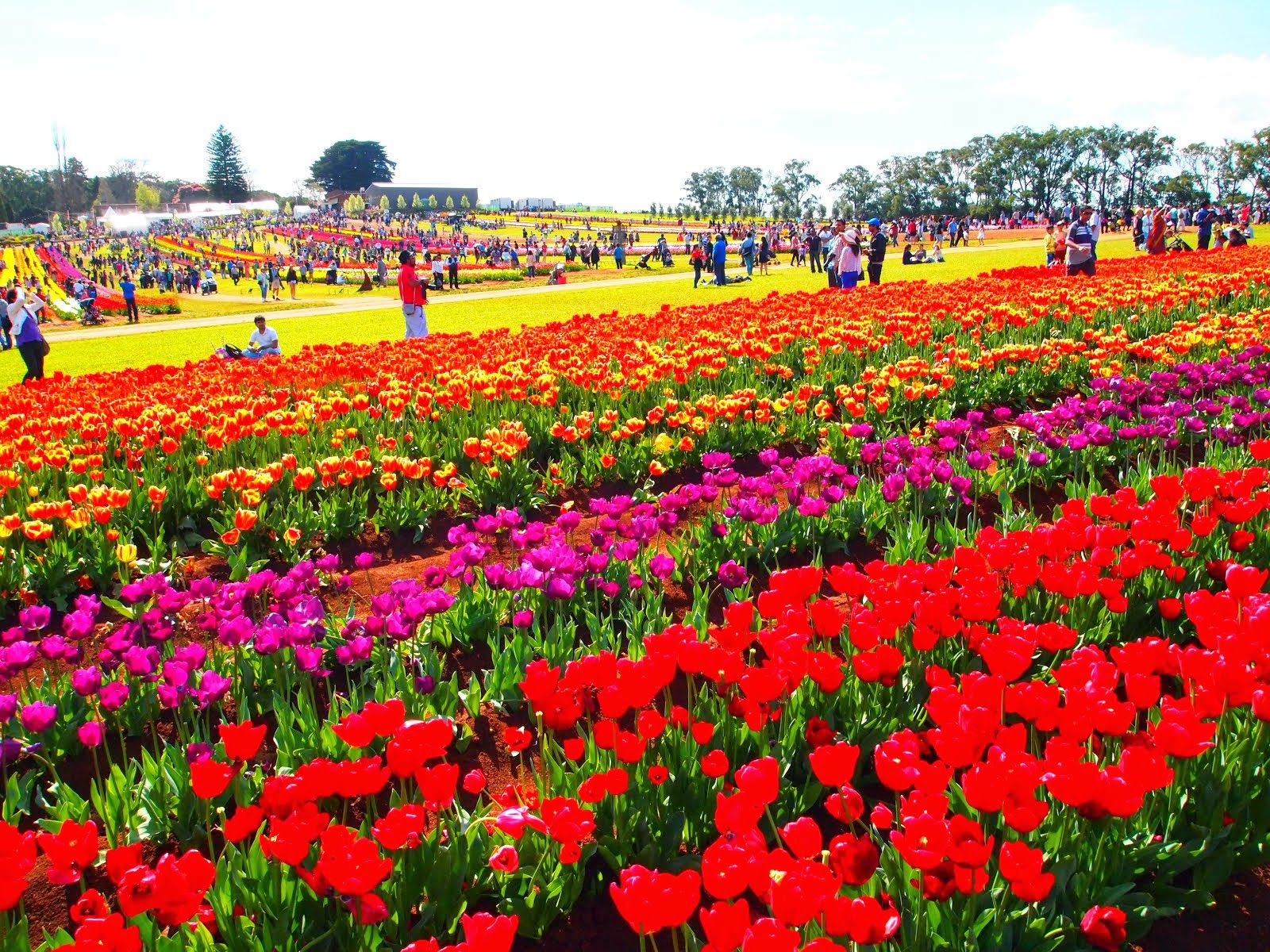 Tesselaar Tulip Festival - showcasing thousands of colorful tulips.