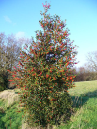 Tinne the Holly tree