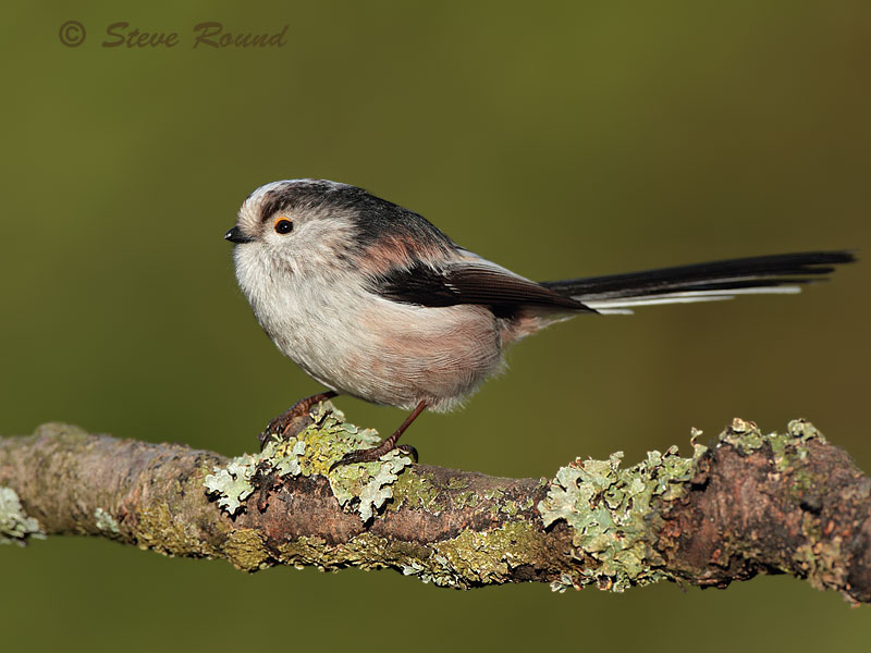 bird, long-tailed tit, nature, wildlife