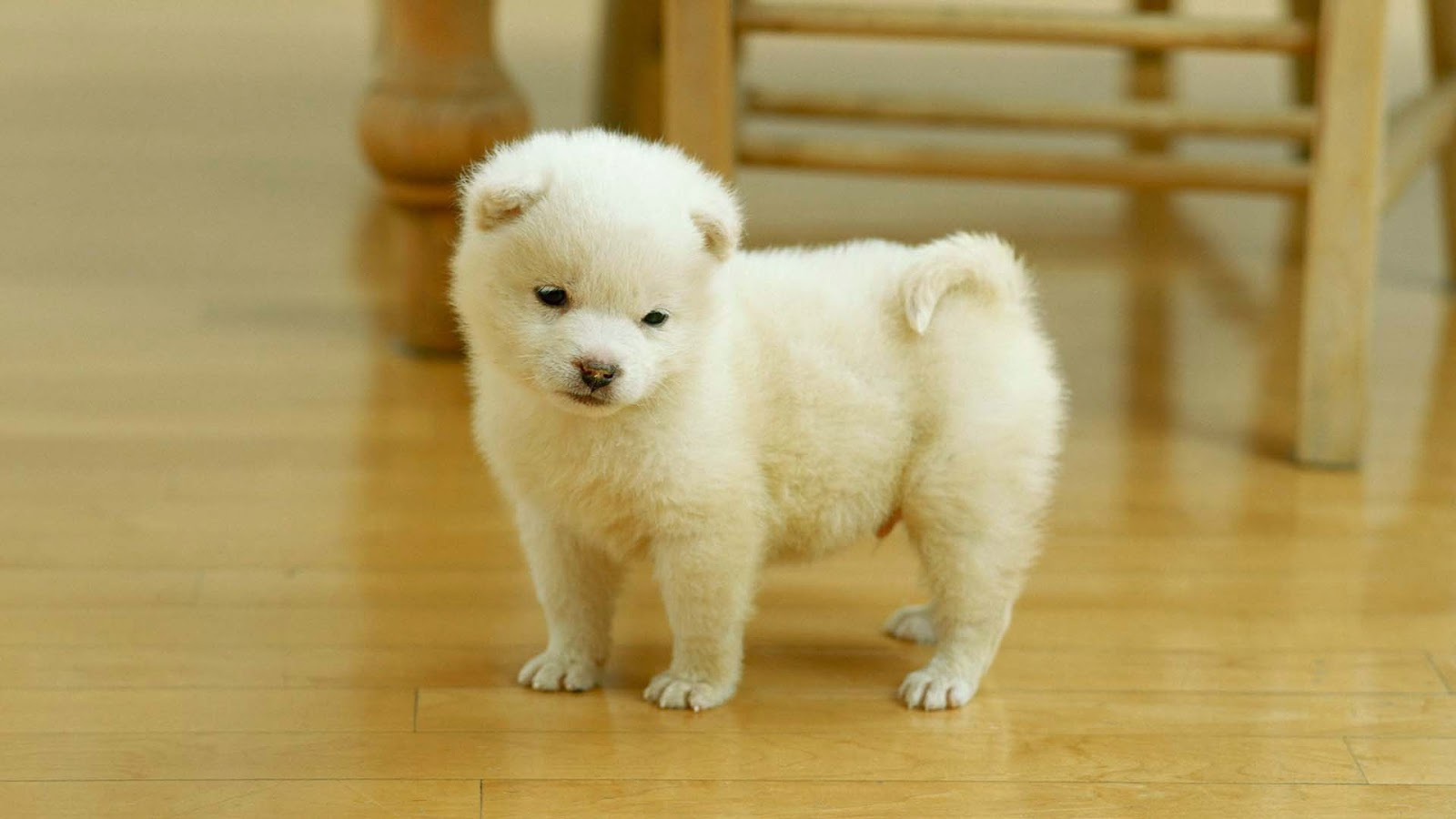 Collection Pomeranian Puppy Wallpaper Puppies