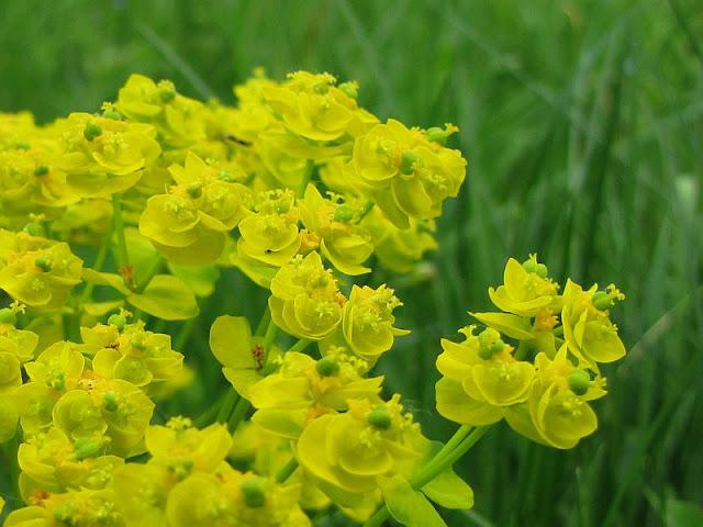 Wilczomlecz lancetowaty (Euphorbia esula L.)