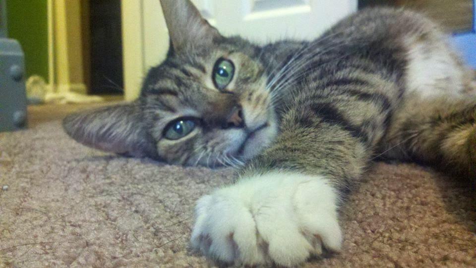 Kidney Diet Cat Food Recipe