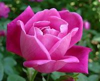 cara mengatasi keputihan, bunga mawar