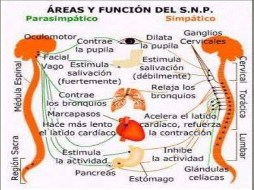 Fisiología de Omar Báez: Esquema Sistema Nervioso Simpatico y ...