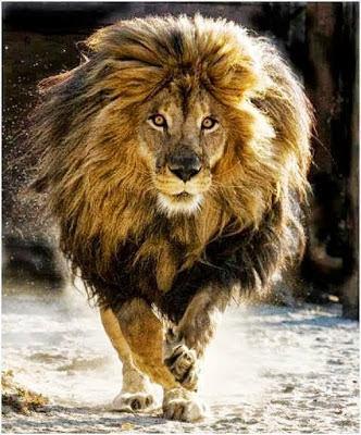 león despeinado