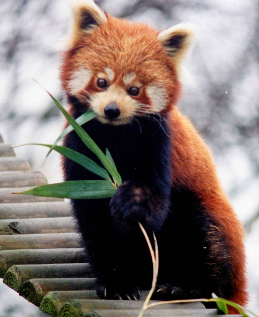 40 Adorable red panda pictures (40 pics), red panda eating bamboo leaf