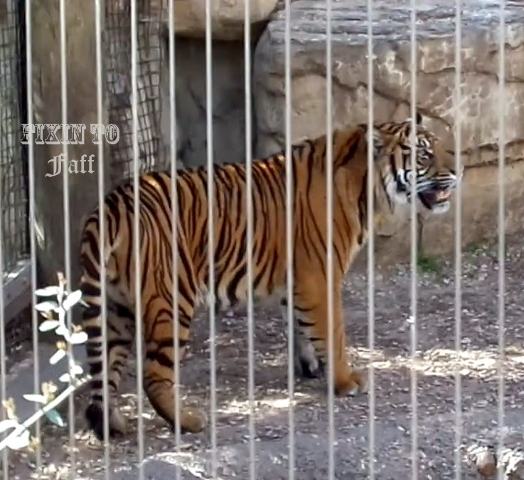 Cameron Park Zoo Sumatran Tiger
