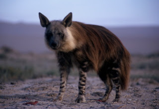 La Bestia de Gevaudan Brown-hyaena