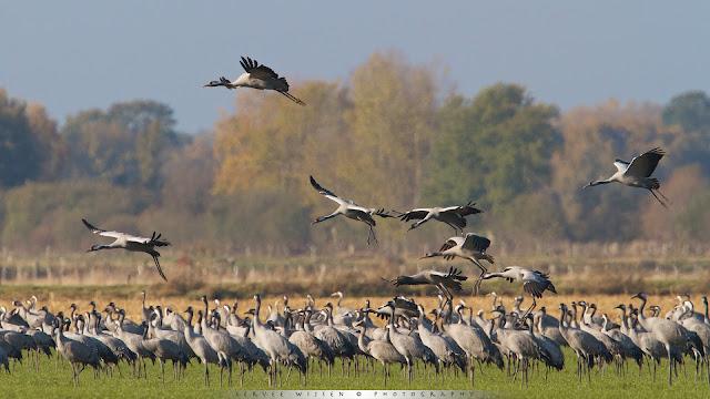 Cranes landing on field
