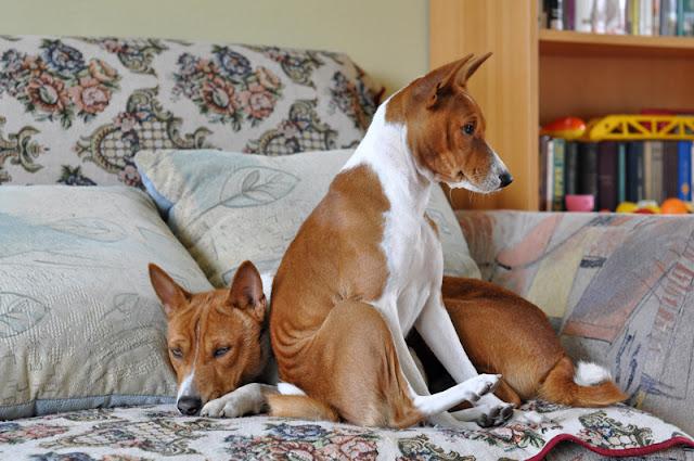 2 Basenjis on a sofa