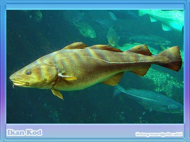 Ikan Kod