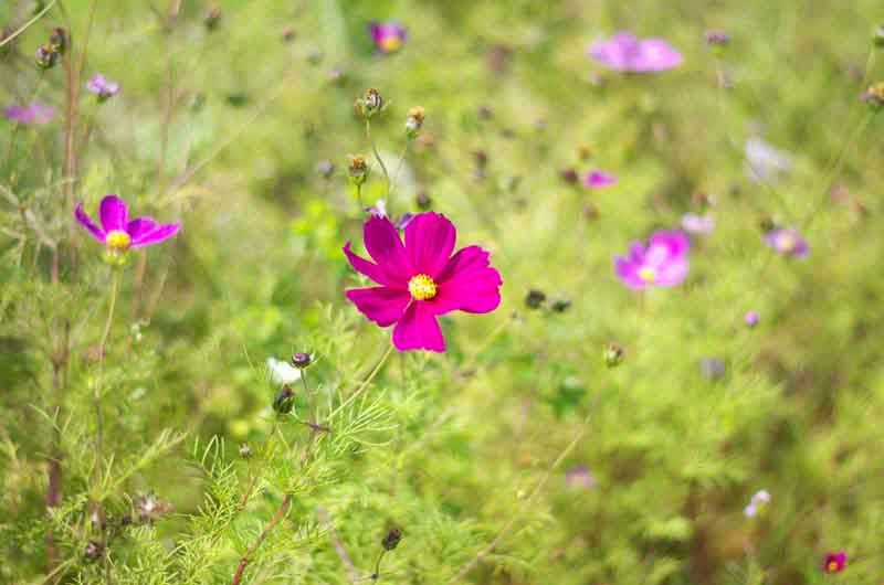 flowers, cosmos