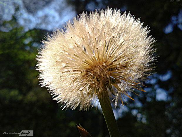 diente de león flora silvestre