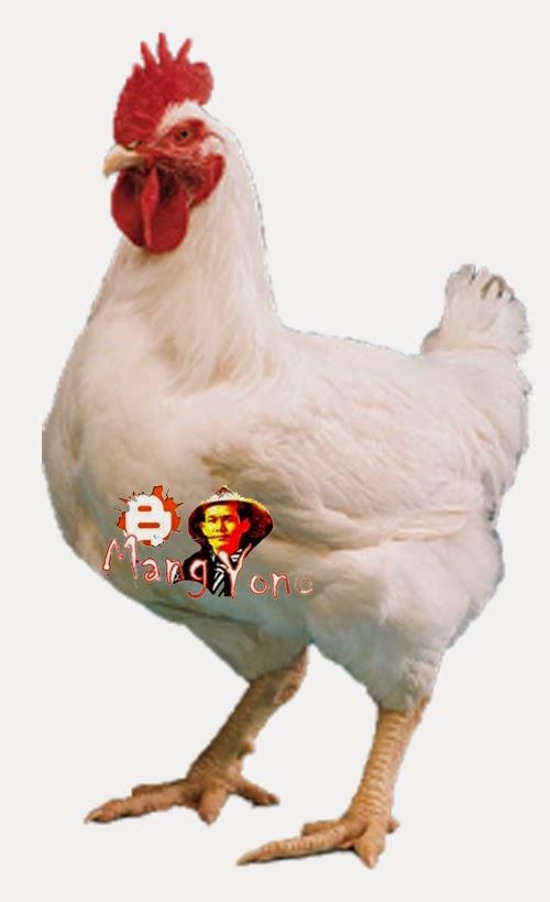 Ayam Negeri / ayam potong