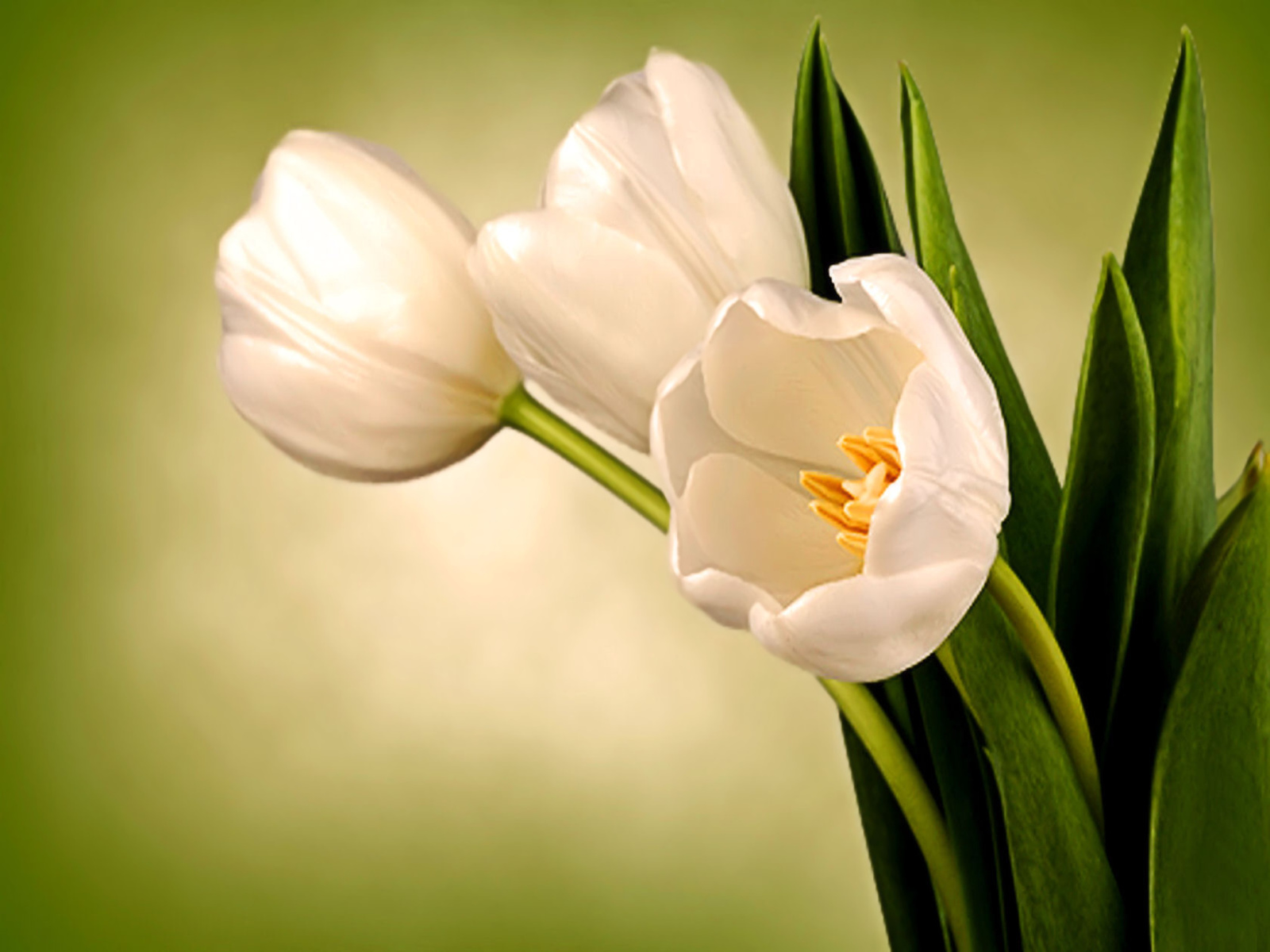 http://2.bp.blogspot.com/-Ccmhyt43pSg/TkzS1E_YOxI/AAAAAAAAAkY/JfoWFWBD13A/s1600/tulips.jpg