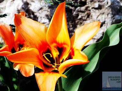 floare portocalie gradina botanica bucuresti