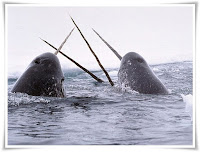 Narwhal Animal Pictures