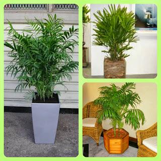 Plantas para dentro de casa - Palmeira chamaedorea