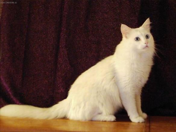 Turkish Angora cat, including