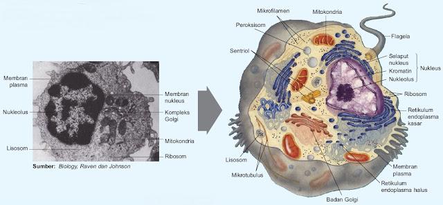 Sel hewan dan sel tumbuhan - gambar dan fungsi